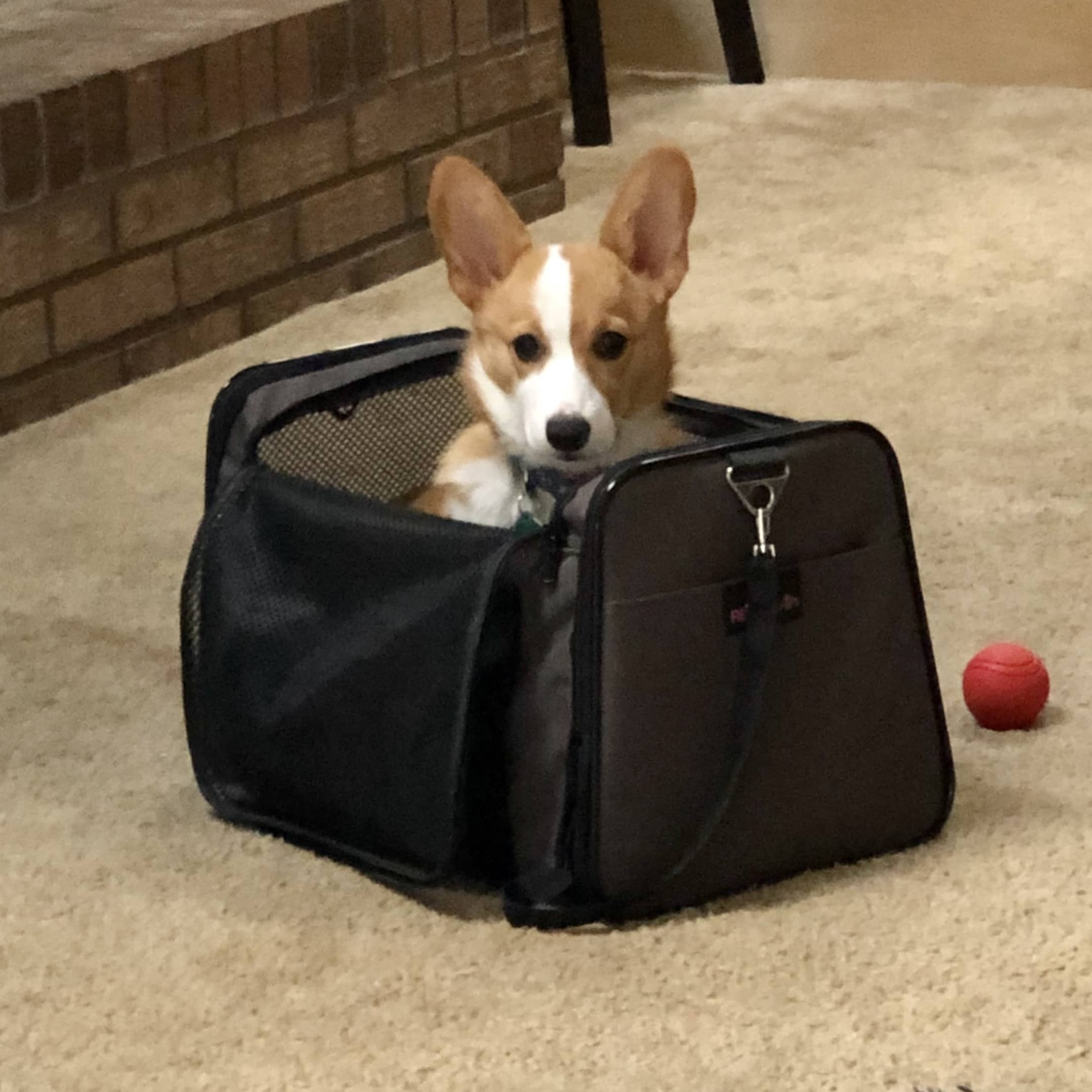 Marvel the corgi sitting in a bag